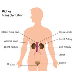 structure and function of urinary system vector image