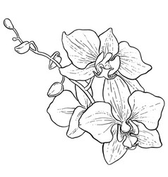 Branch of orchid vector