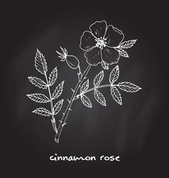 cinnamon rose medicinal plant vector image