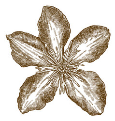 engraving of clematis flower vector image