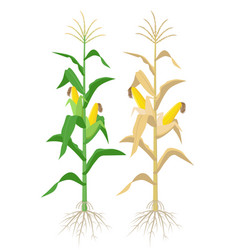 Ripe maize plants isolated on white background vector