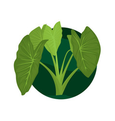 taro leaves taro green leaves vector image