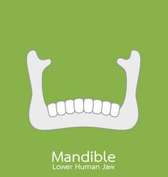 Lower human jaw - mandible vector