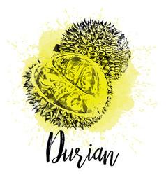Musang king durian vector