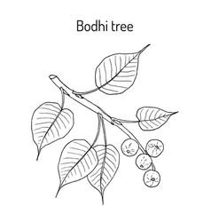 Sacred fig or bodhi tree ficus religiosa vector
