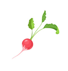 radish icon isolated vector image