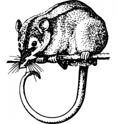 Rodent tarsipes spenserae vector