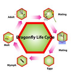Dragonfly life cycle vector