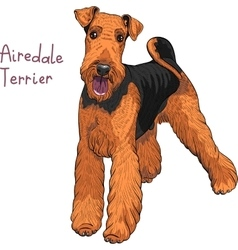 sketch dog Airedale Terrier breed vector image