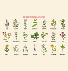 Best herbs for a medicinal garden vector