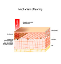 mechanism of tanning skin pigmentation vector image