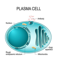 Anatomy of a plasma cell or b cell or plasmocyte vector