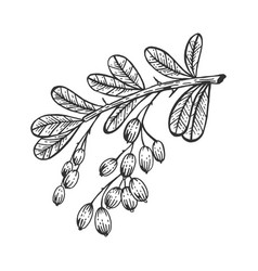 barberry branch sketch engraving vector image