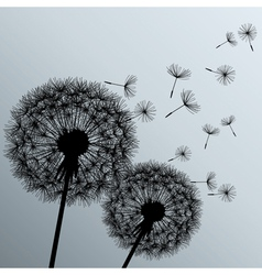 Flowers dandelions silhouette on grey background vector