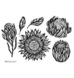 Set hand drawn black and white protea vector