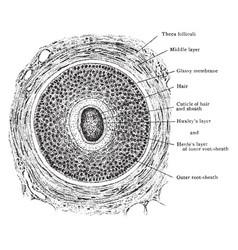 Transverse section hair follicle vintage vector