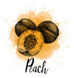 A peach in hand drawn graphics vector