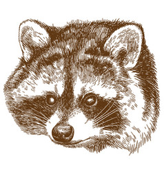 engraving of raccoon head vector image
