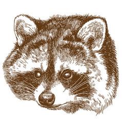 Engraving raccoon head vector