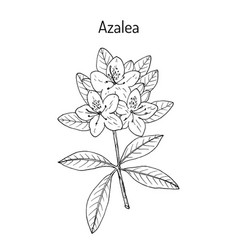 Azalea rhododendron obtusum ornamental and vector