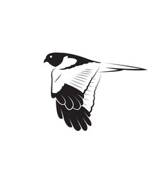 pied harrier bird design isolated on white vector image