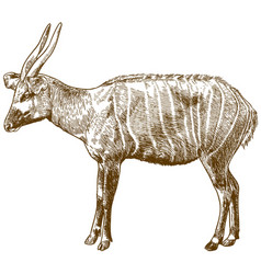 engraving drawing of bongo antelope vector image