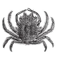 european spider crab vintage vector image