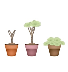 Three Dragon Tree in Ceramic Flower Pots vector