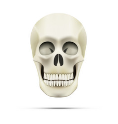 Realistic human skull isolated on white vector