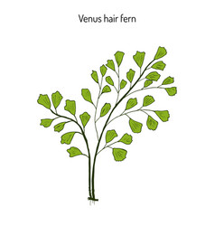 southern maidenhair fern vector image