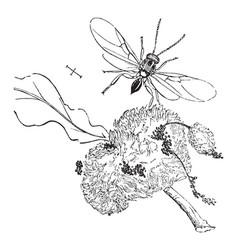 Gall wasp vintage vector