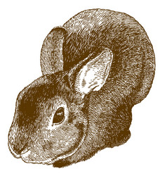 engraving of fluffy bunny vector image