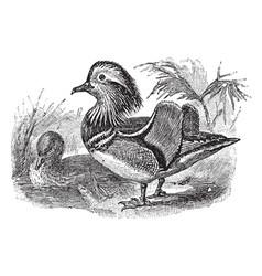 Mandarin duck vintage vector