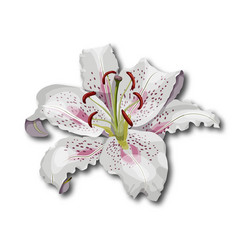 Oriental lily flower isolated on white background vector