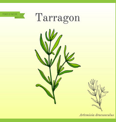 tarragon aromatic kitchen herb vector image