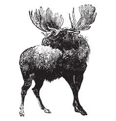 moose vintage vector image