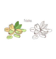Colored and monochrome drawings of pistachios in vector