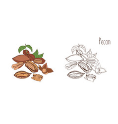 Colored and monochrome drawings of pecan in shell vector