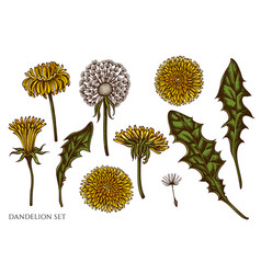 set hand drawn colored dandelion vector image
