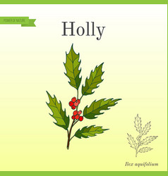 holly tree branch with green leaves and red vector image