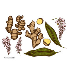 set hand drawn colored ginger vector image
