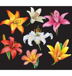 Set of lilies heads on black background vector image vector image