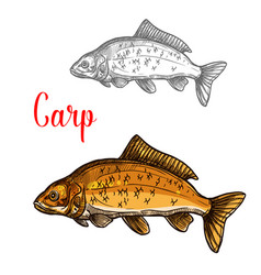 Carp sketch of freshwater fish for fishing design vector