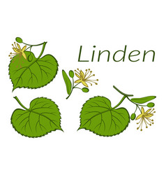 Linden leaves and flowers vector