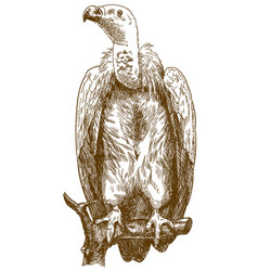 Engraving of himalayan vulture vector