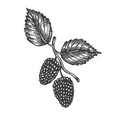 Mulberry hand drawn sketch fruit vector