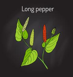 Ayurvedic plant long pepper piper longum pippali vector