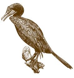 engraving drawing cormorant vector image