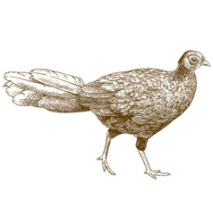 Engraving of female silver pheasant vector