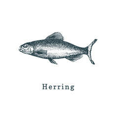 Herring fish sketch in vector